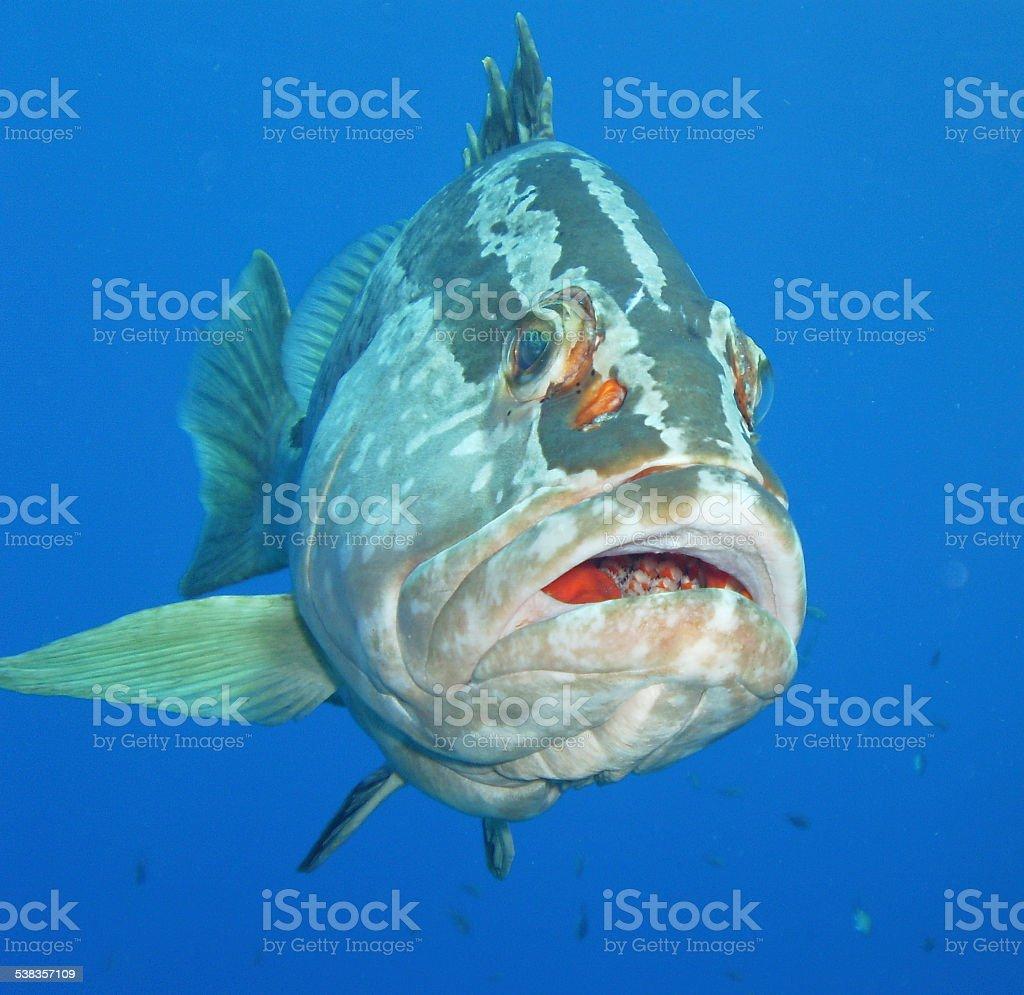 Nassau Grouper Close-up Caribbean Little Cayman West Indies stock photo