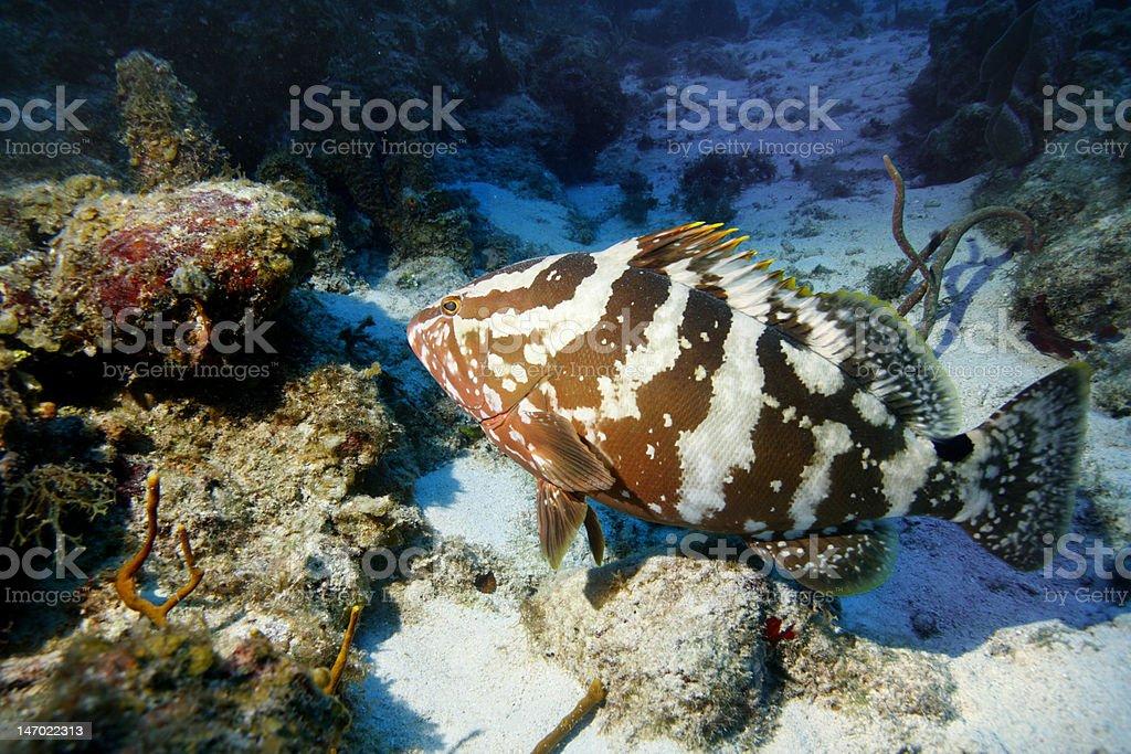 Nassau Grouper royalty-free stock photo