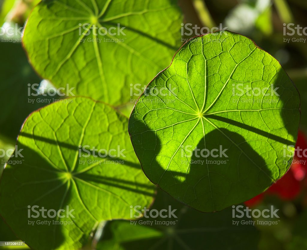 Nasturtium detail royalty-free stock photo