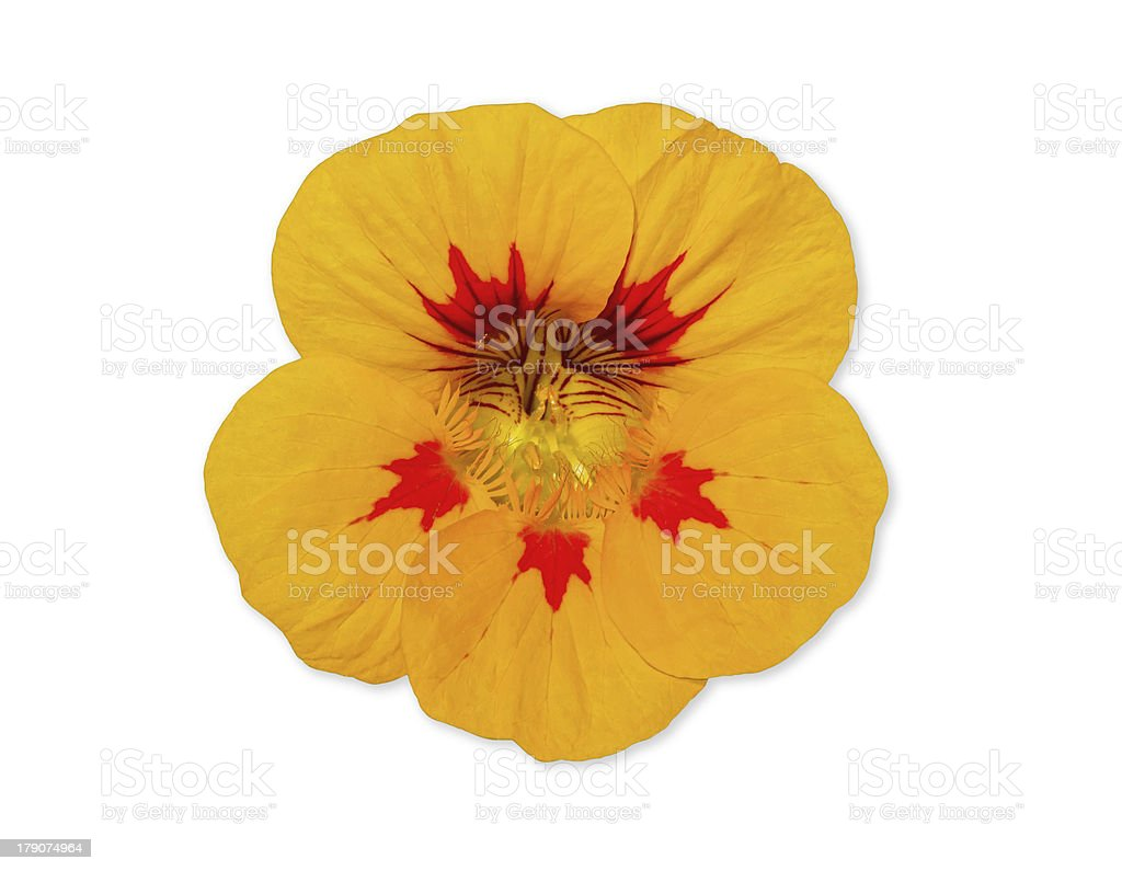 Nasturtium flower isolated over white stock photo