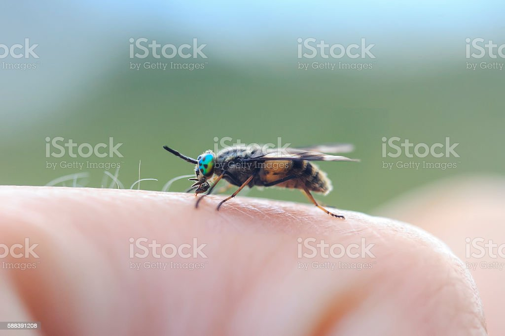 nasty gadfly crawling on the arm and painful bites stock photo
