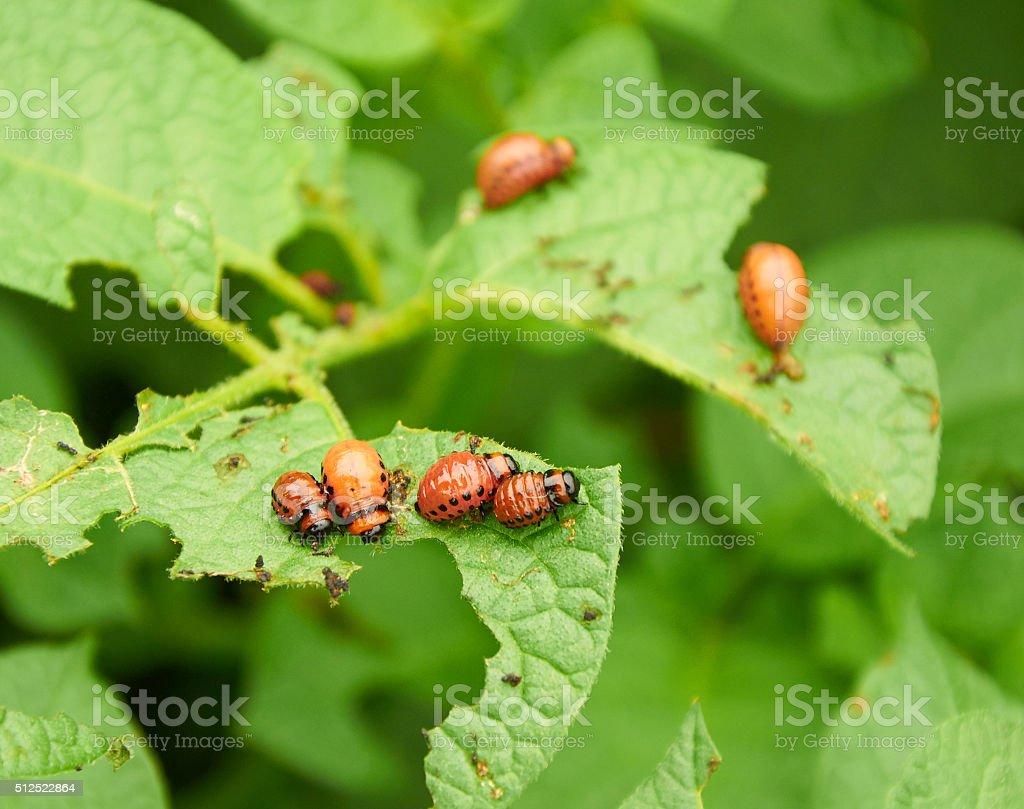 nasty young Colorado beetles stock photo