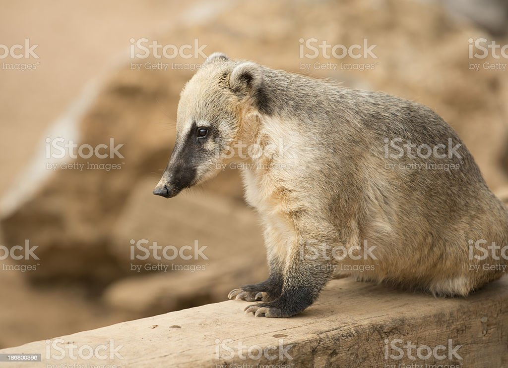 Nasua Coati royalty-free stock photo