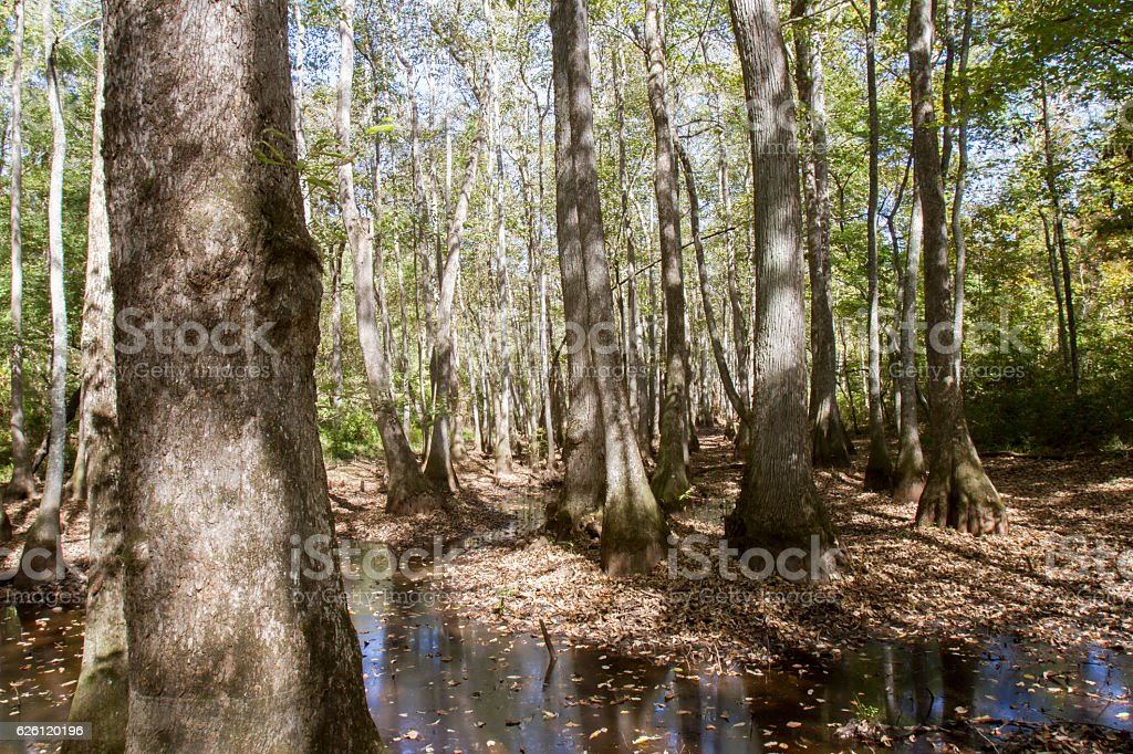 Natchez Trace cypress swamp stock photo