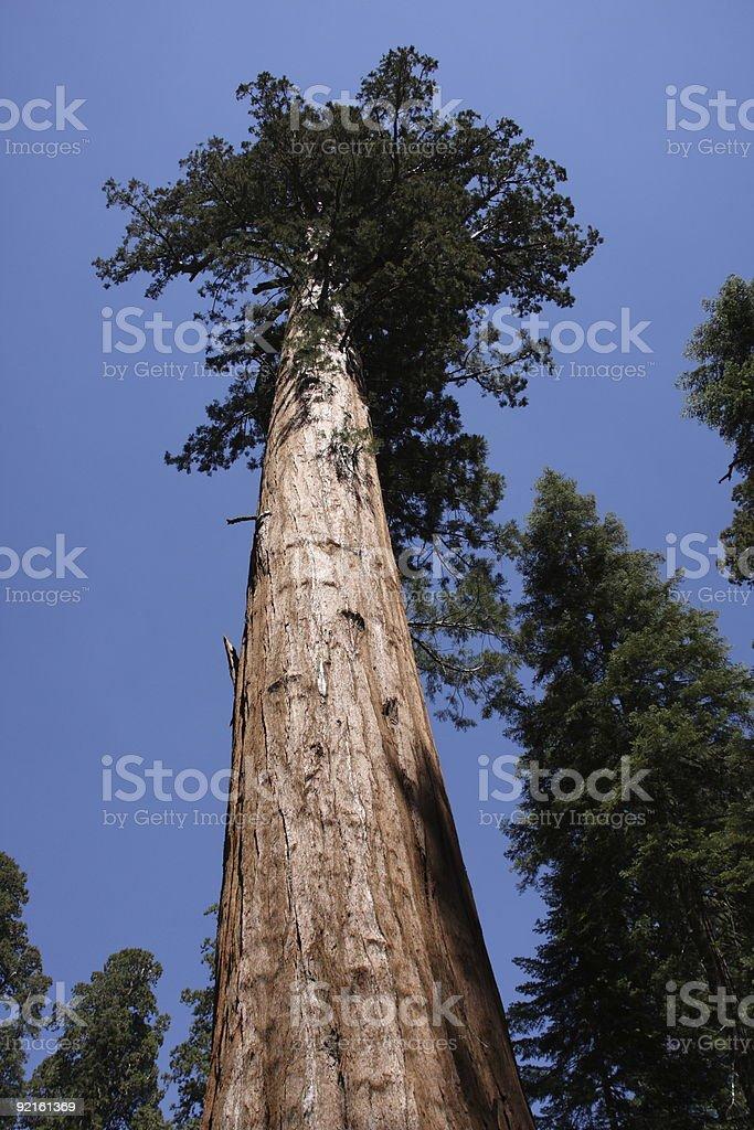 National Sequoia Park Tree royalty-free stock photo