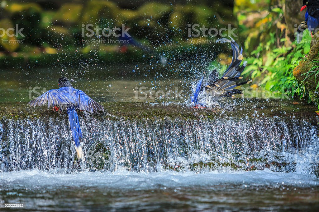 National treasure Taiwan blue magpie stock photo