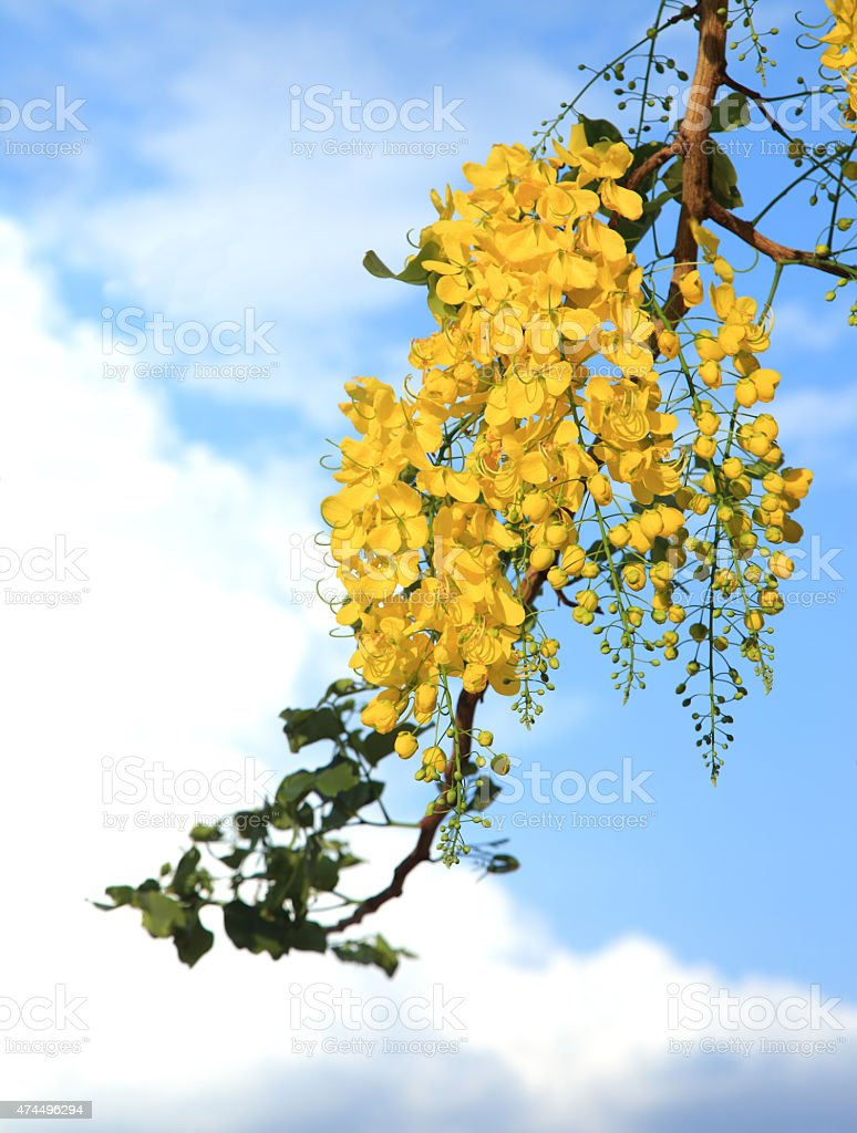 National tree of Thailand Golden Shower Tree Art Print stock photo