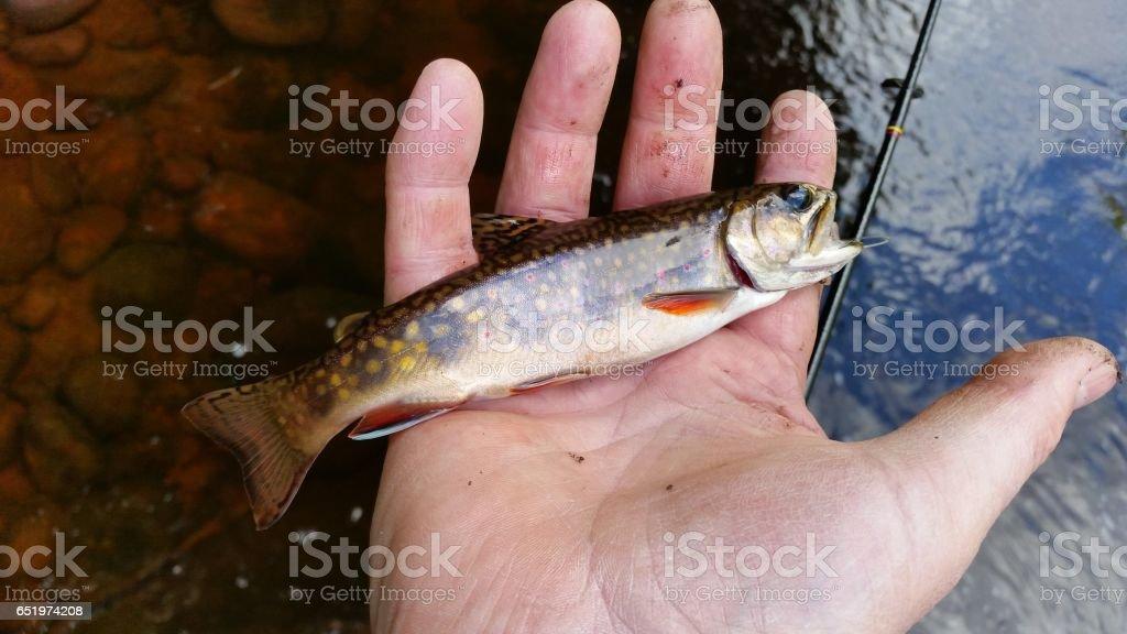 Native Adirondack  Brook Trout stock photo