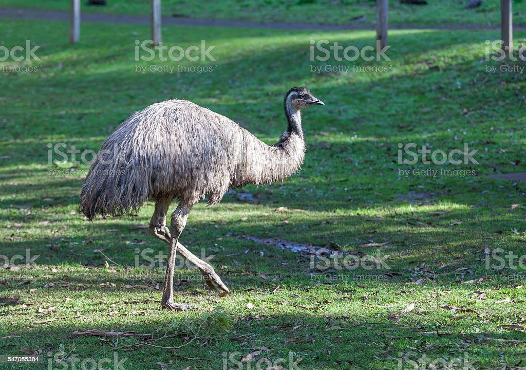 Native Australian Emu portrait stock photo
