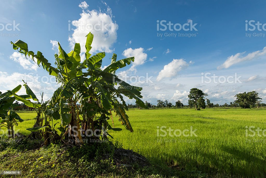 Native banana trees and plants surviving surrounded by farmland stock photo