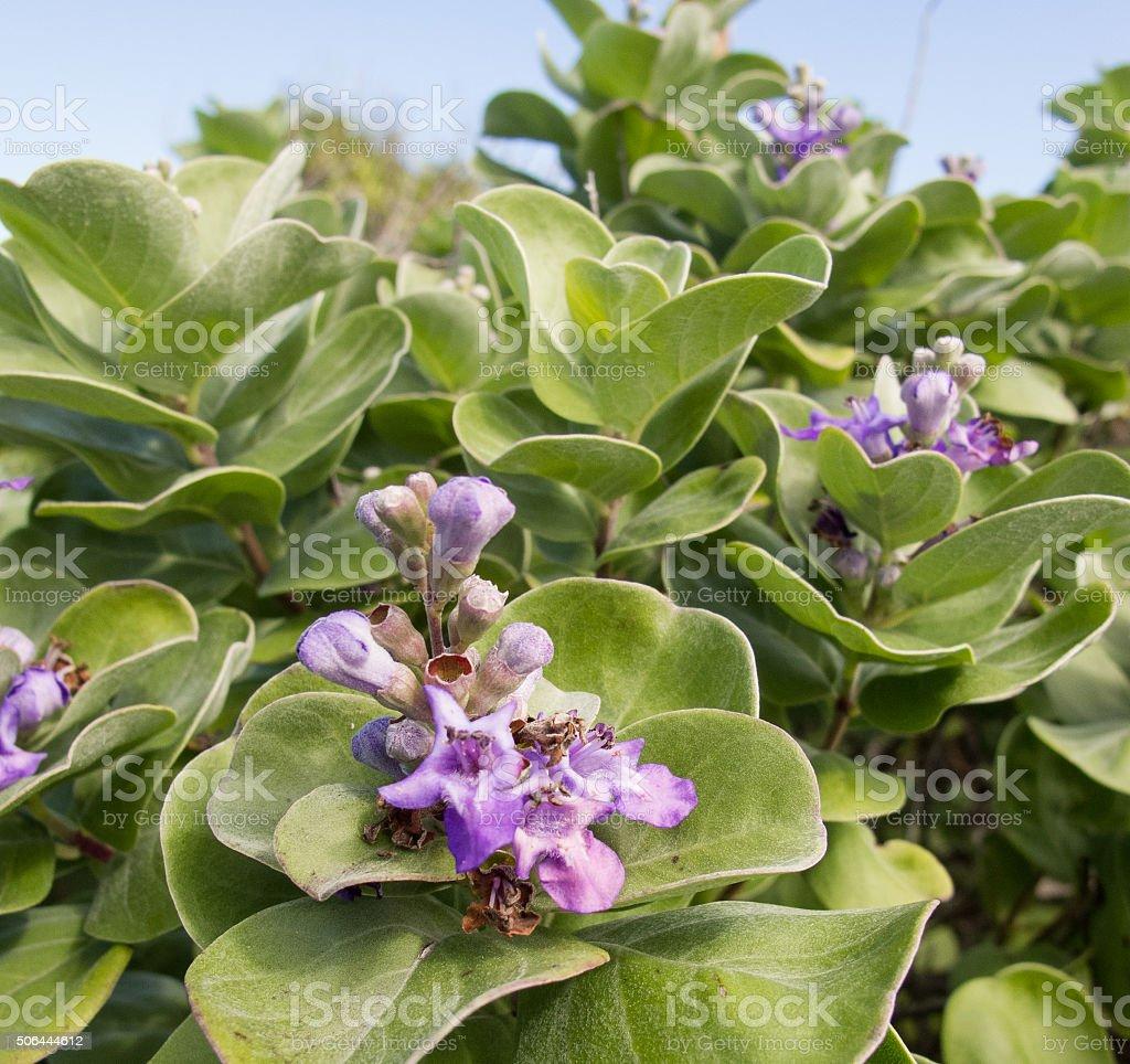Native Hawaiian Flower stock photo