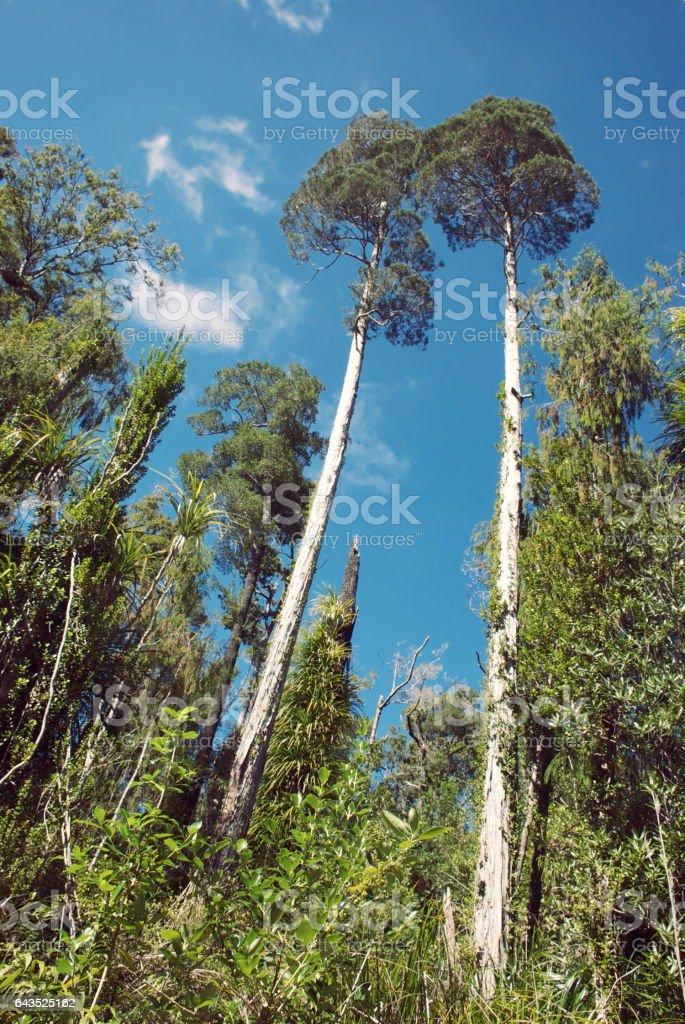 Native New Zealand Kahikatea (Dacrycarpus dacrydioides) stock photo