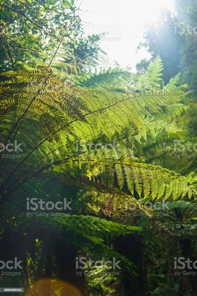 Native New Zealand Silver Tree Ferns,The Silver Fern is a national symbol of New Zealand. stock photo