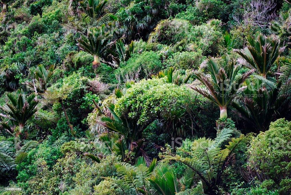 Native Nikau & Bush Background, NZ stock photo