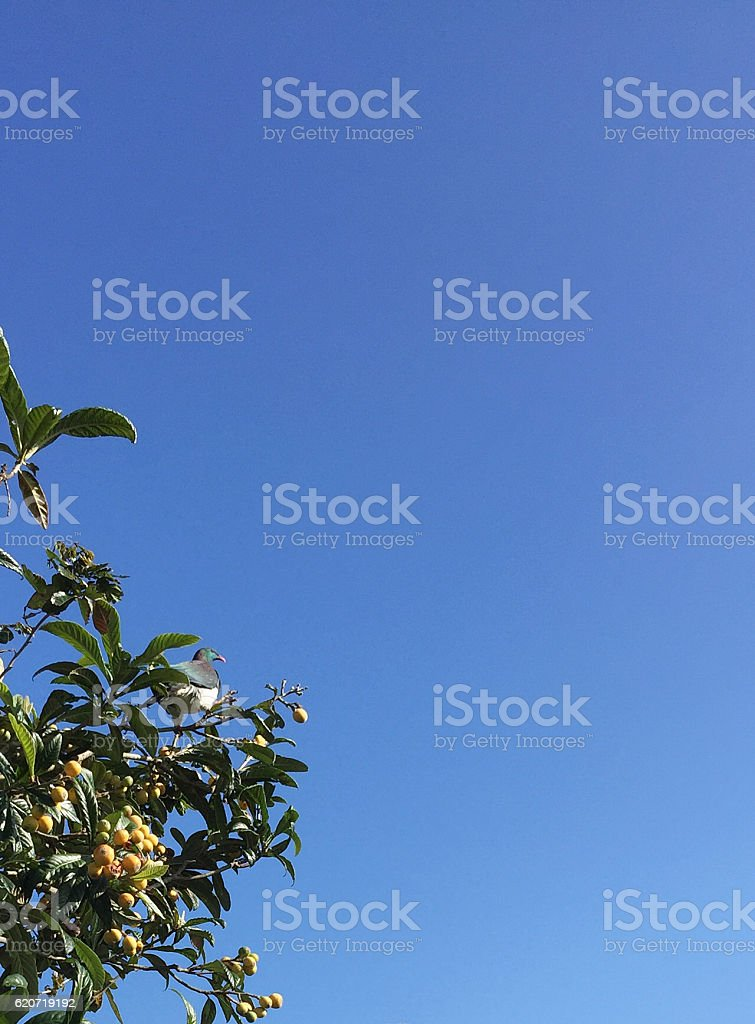 Native pigeon NZ in tree stock photo
