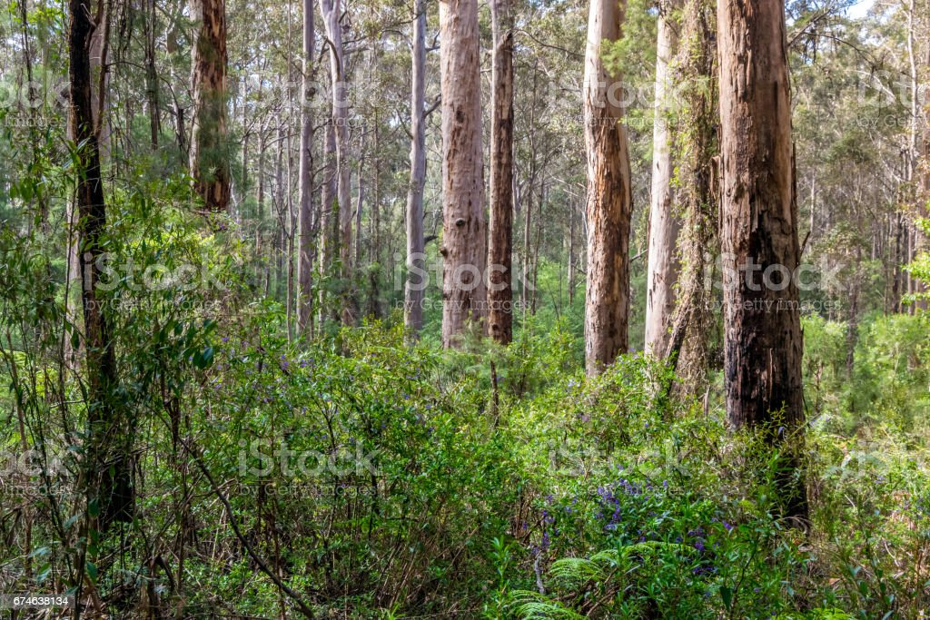 Native south Western Australia forest stock photo