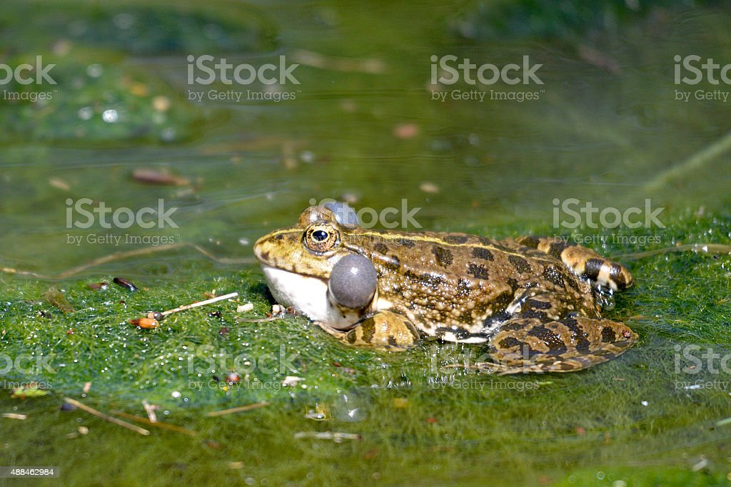 Natterjack toad in water stock photo