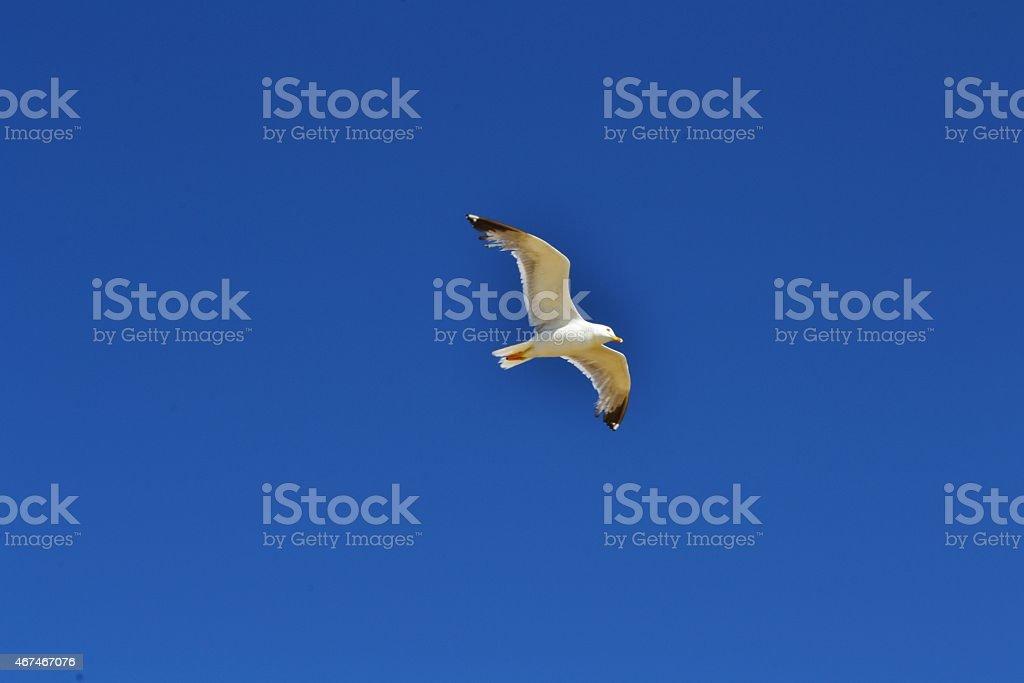 natura. gabbiano in volo stock photo