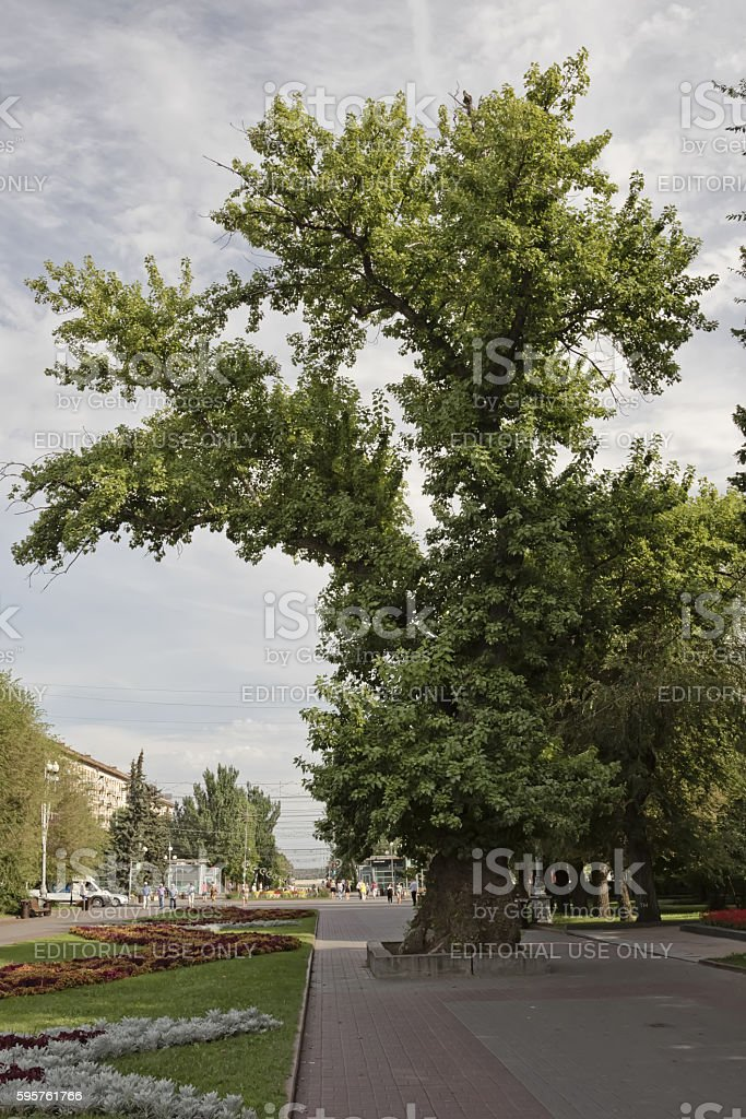 Natural and historical monument 'poplar in the alley of heroes' stock photo