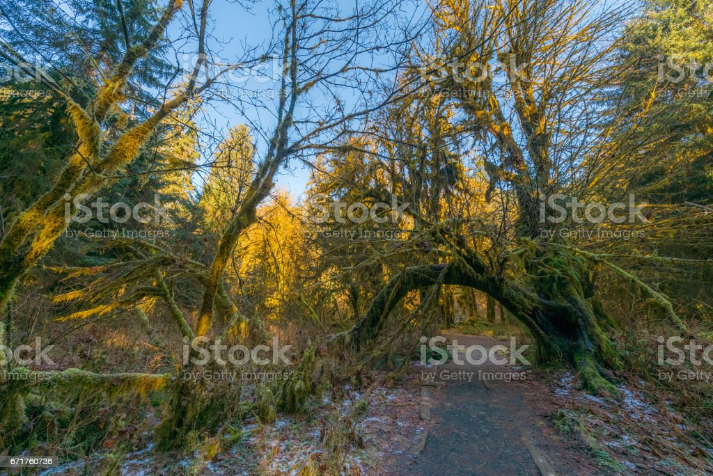Natural arch from tree trunks. The Hall of Mosses Trail goes through the most beautiful rainforest. stock photo