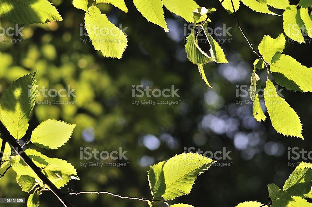 Naturalne tło w otoczeniu zielonych liści backlited zbiór zdjęć royalty-free