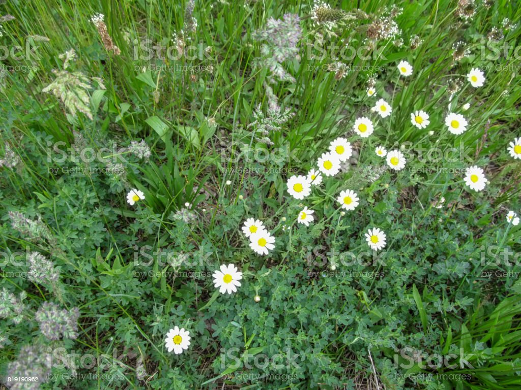 Natural background of wild grass with daisies - top view at right angle stock photo