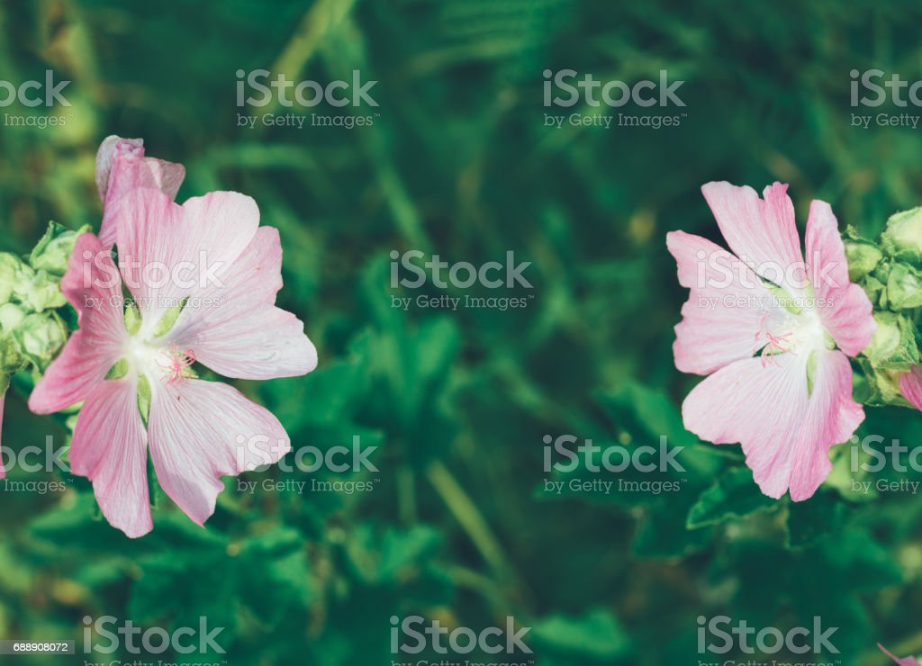 natural background with beautiful pink wild flowers (lavatera Thuringian) flowering in summer stock photo
