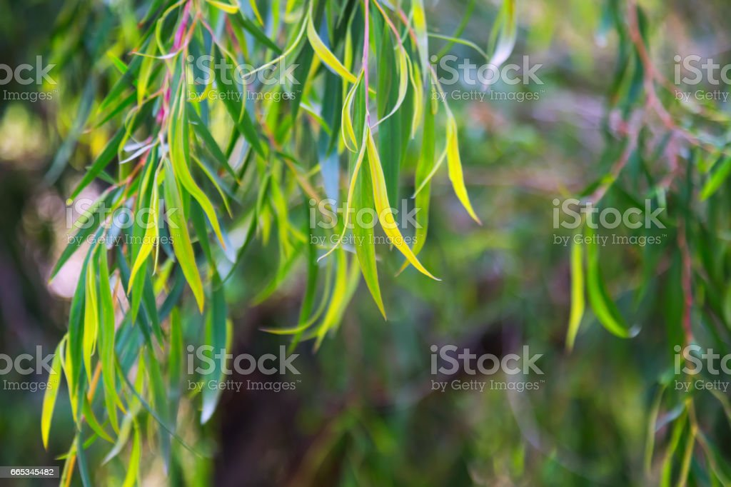 Natural background with   jarrah  leaves stock photo