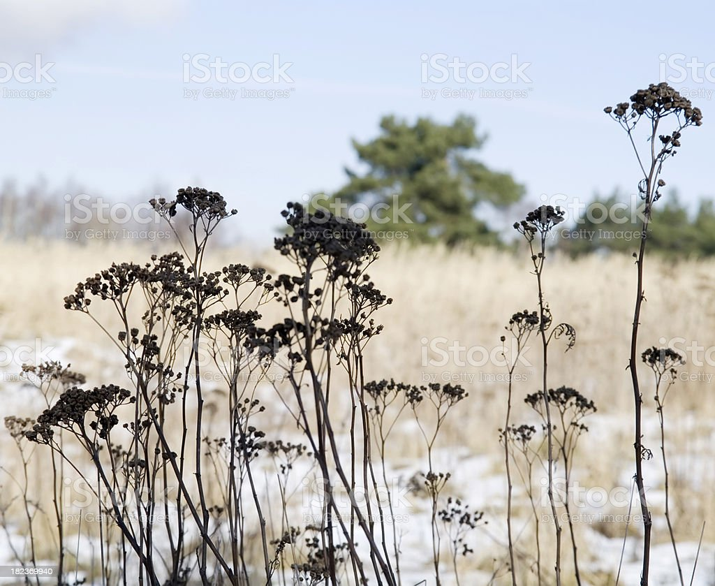 Natural Backgrounds: Dried Plants royalty-free stock photo