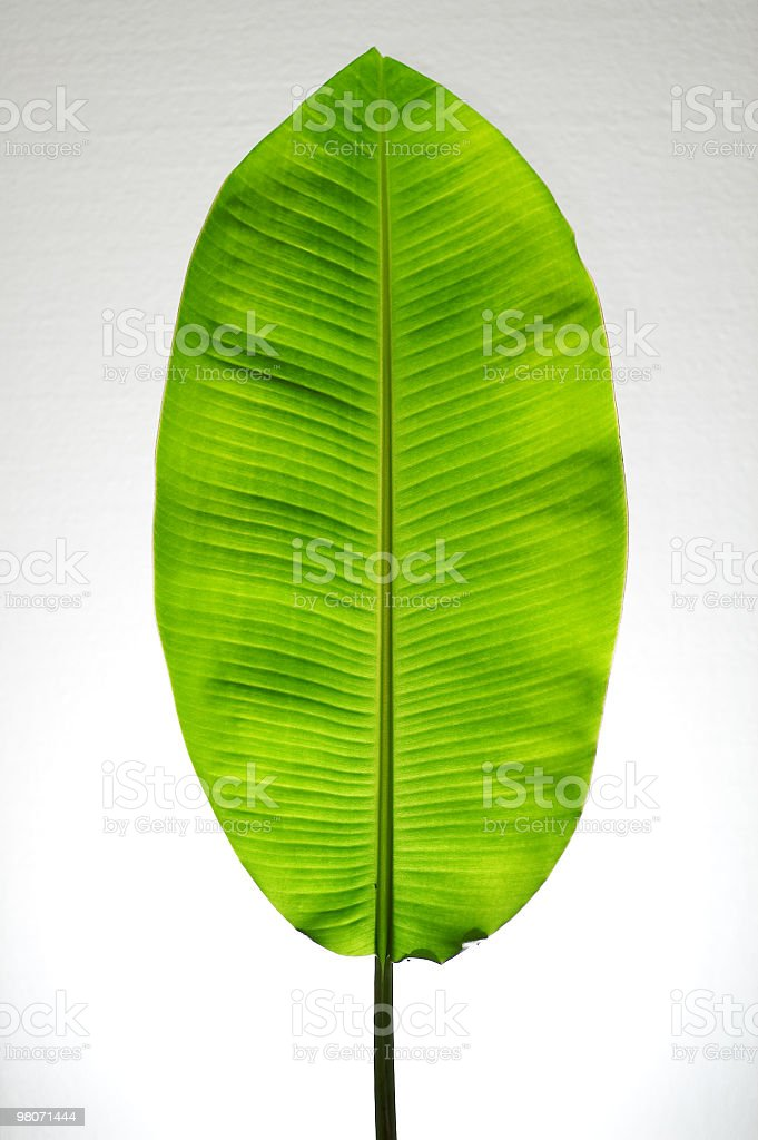 Natural banana leaf on white background stock photo