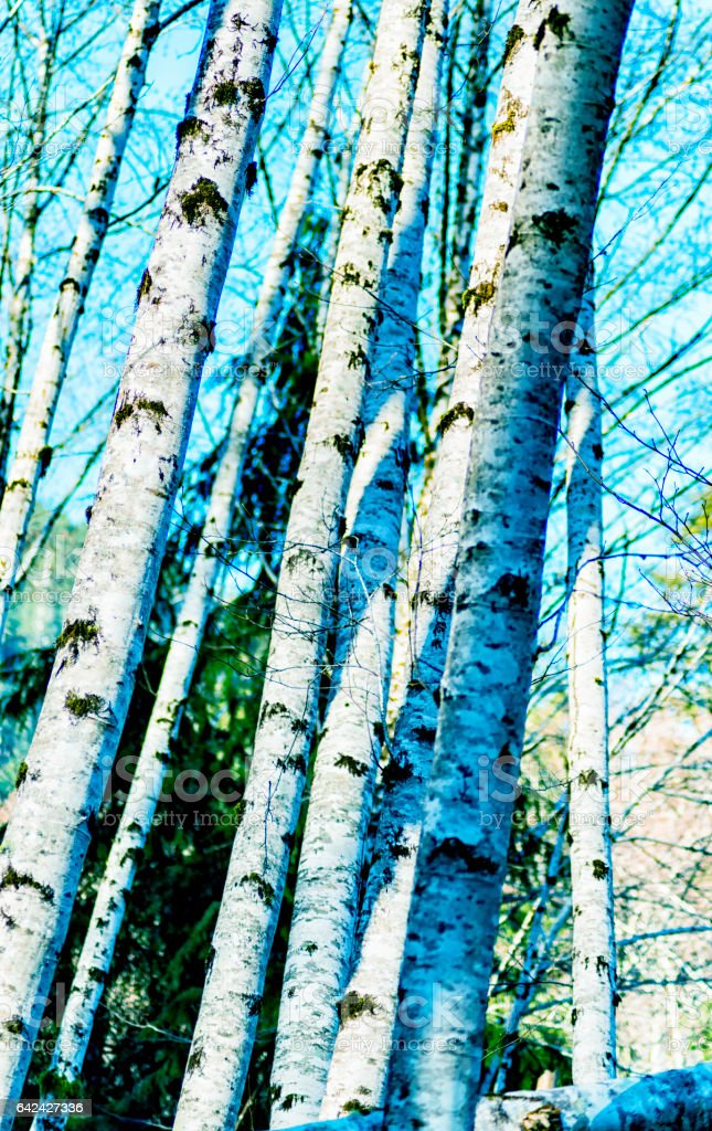 Natural beauty in Vancouver Island_Canada - Alder trees in Avatar Grove 1. stock photo