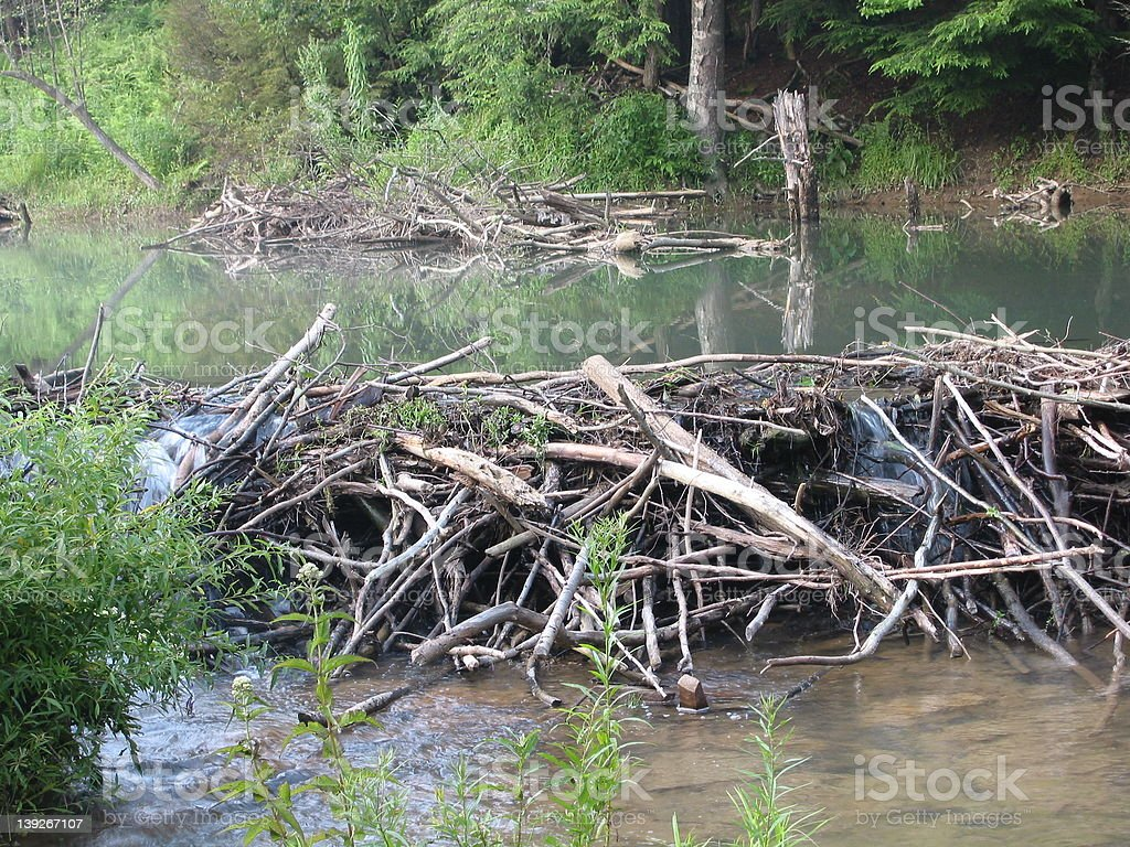 natural beaver dam stock photo