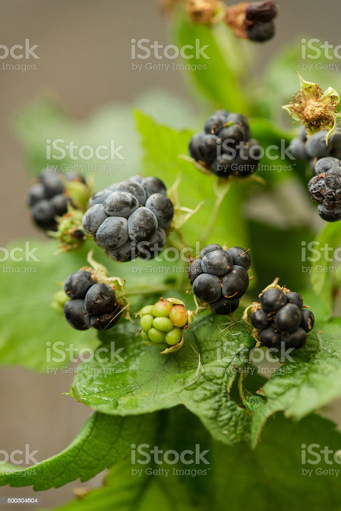 natural blackberry branch with leaves and berries stock photo