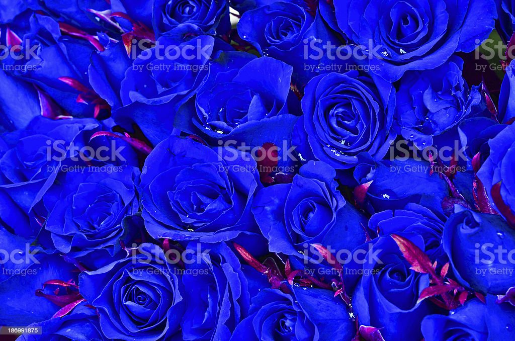 Natural blue roses background royalty-free stock photo