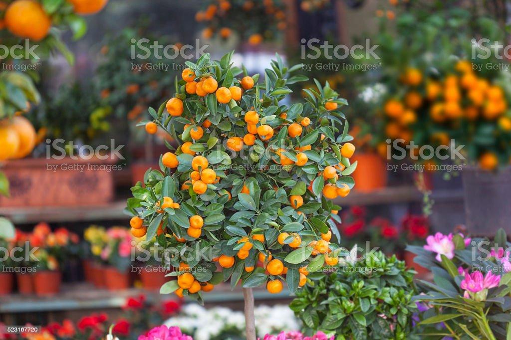 Natural botanical flowers,Tangerine tree stock photo