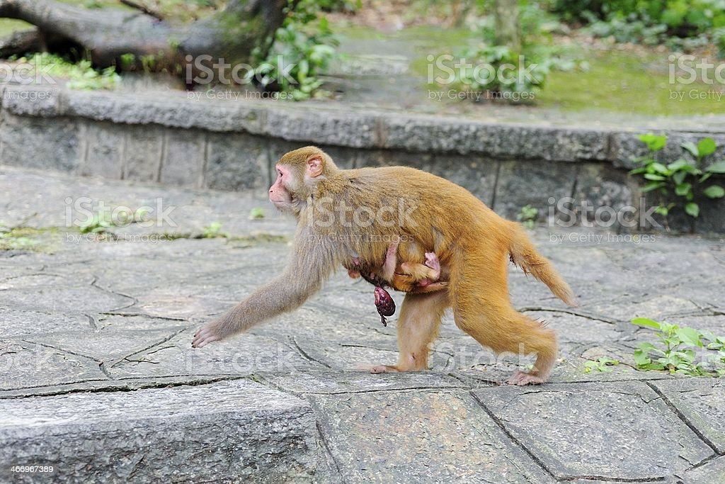 natural childbirth of the female monkey royalty-free stock photo