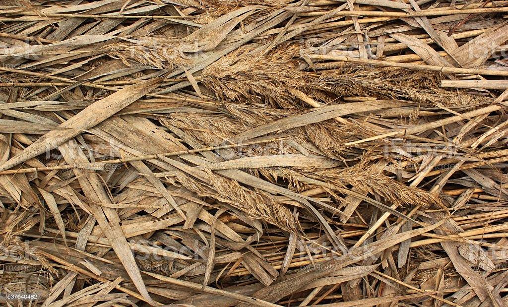 Natural dry reed background stock photo