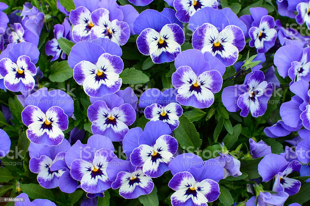 Natural floral background of purple pansy flowers stock photo