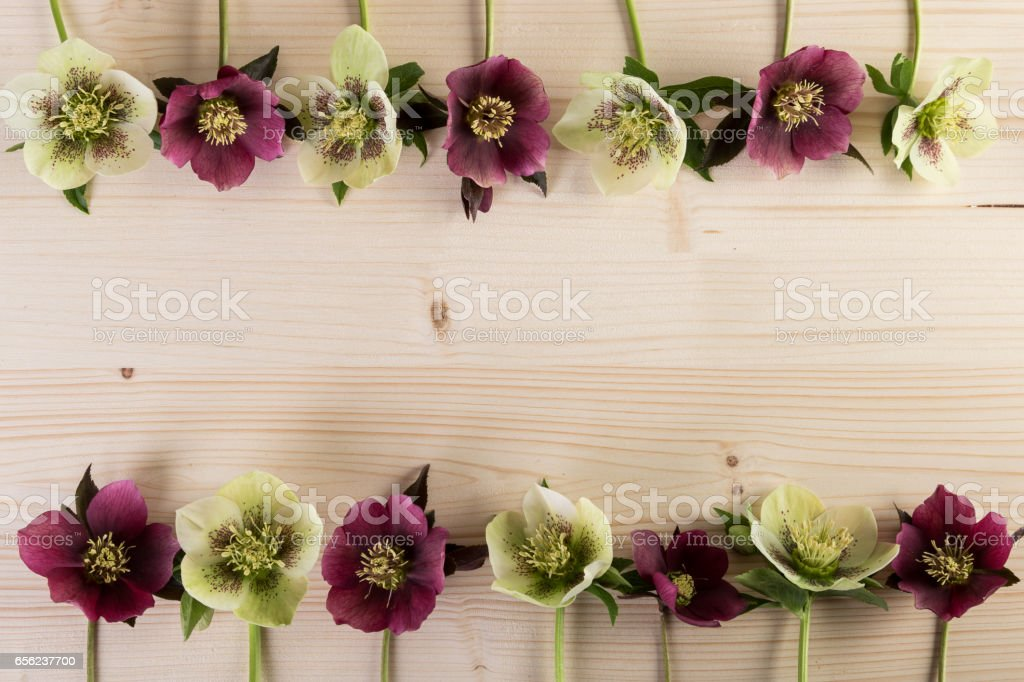 Natural flower frame background with hellebore lenten rose flowers over wood stock photo