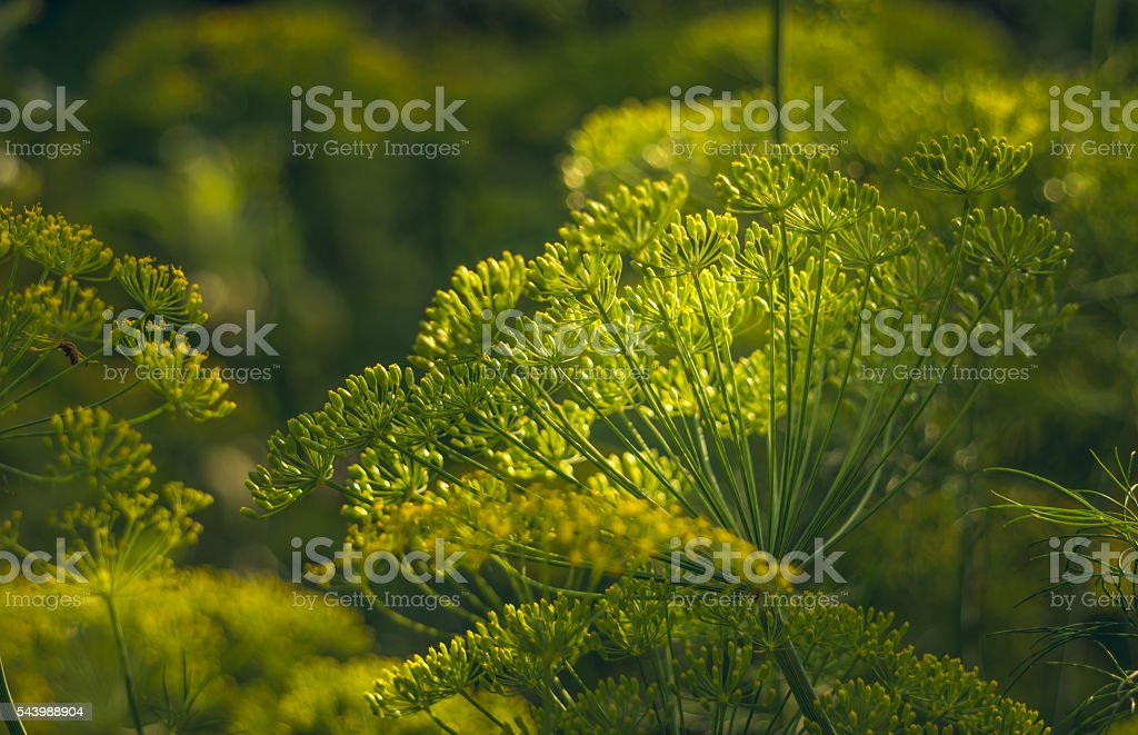 Natural food products. Green dill in the greenhouse stock photo