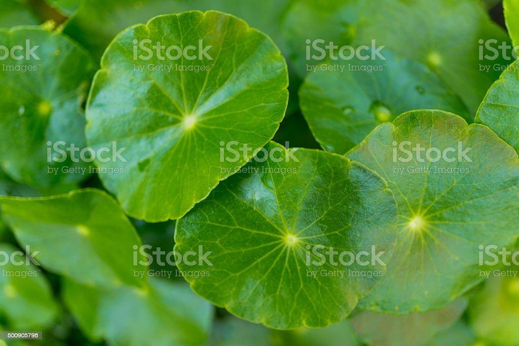 natural fresh Water Pennywort , close up stock photo