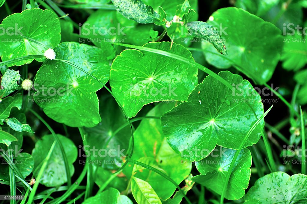 natural fresh Water Pennywort or Centella asiatica leaf stock photo
