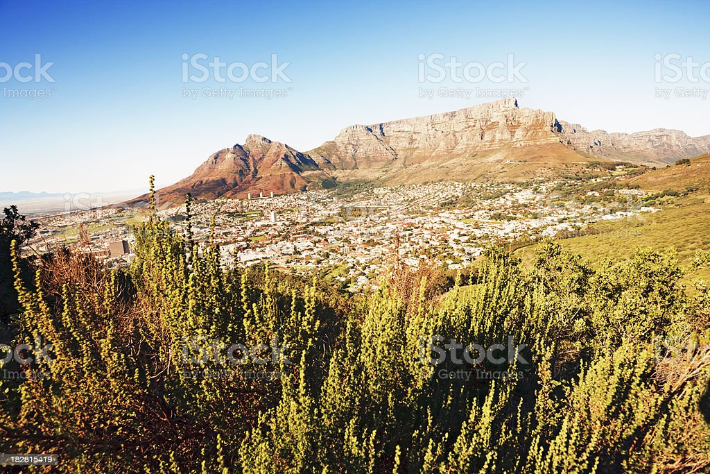 Natural fynbos vegetation in front of Table Mountain, Cape Town royalty-free stock photo