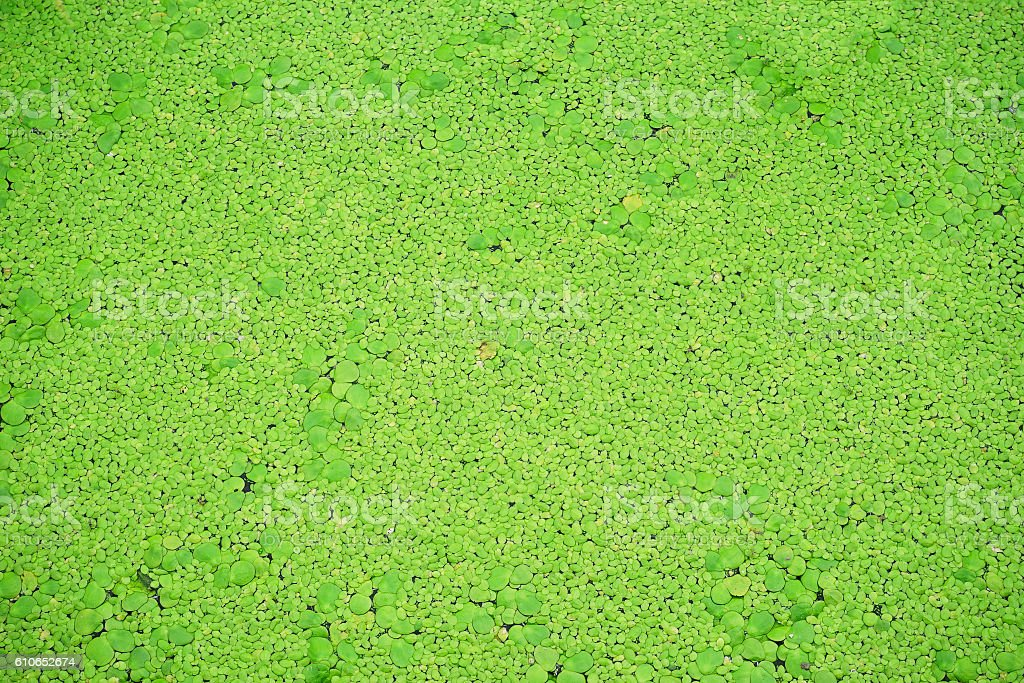 Natural green azolla background stock photo