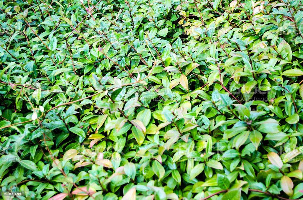 Natural green leaves stock photo