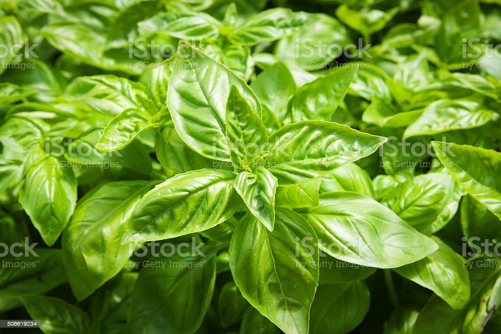 Natural Herb Basil Plant in the Garden stock photo