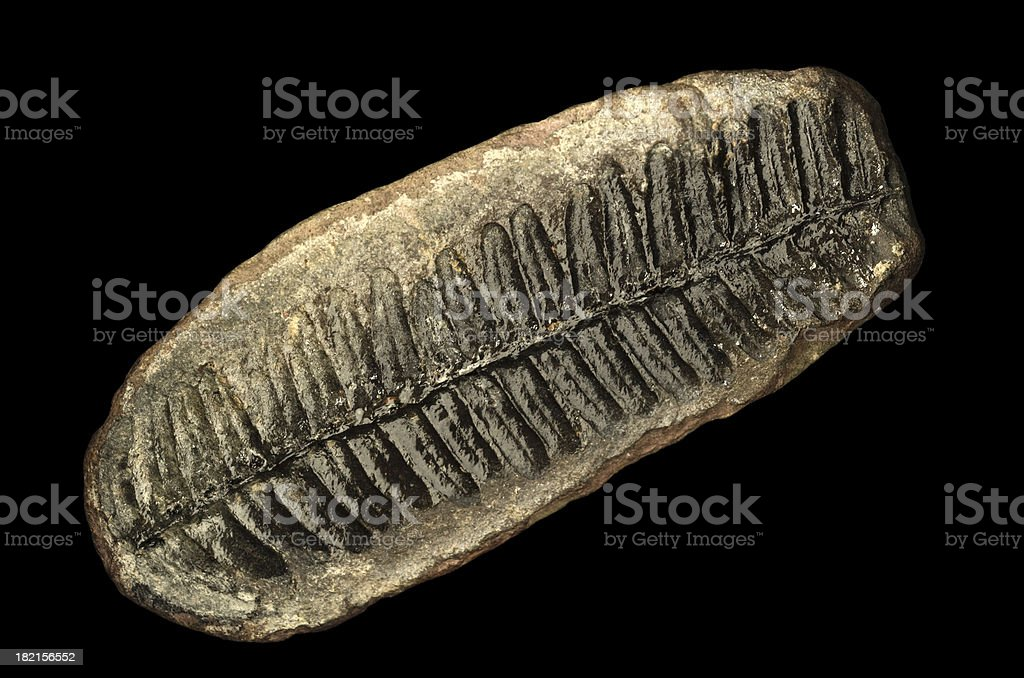 Natural History Fossilized Fern Leaf Isolated on Black stock photo