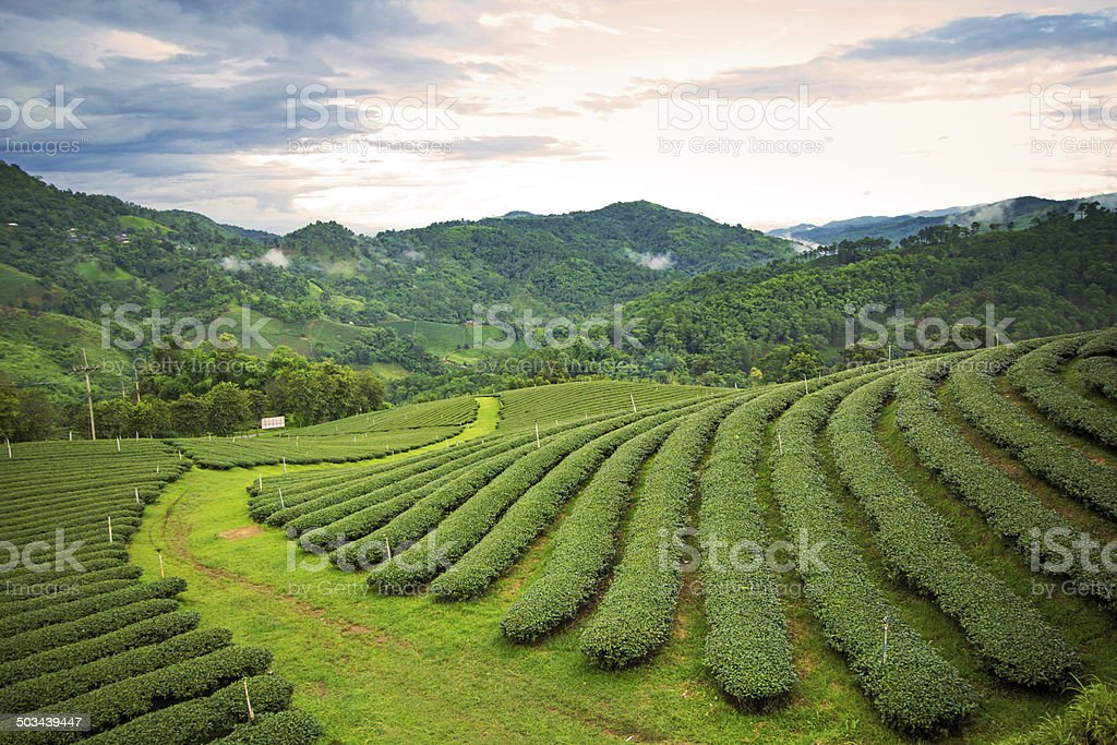 Natural landscape of tea planation on the moutain stock photo