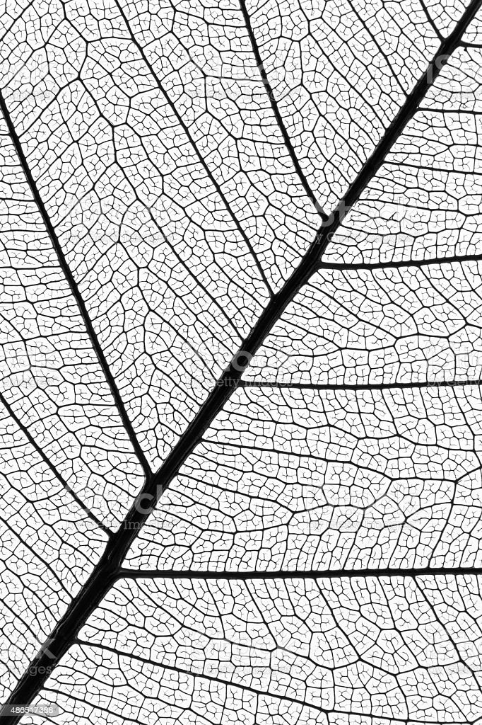 natural leaf veins skeleton extremely detailed stock photo
