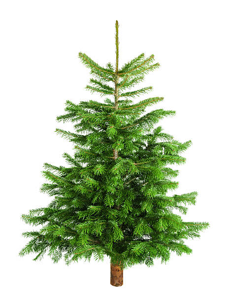 spruce tree pictures images and stock photos istock